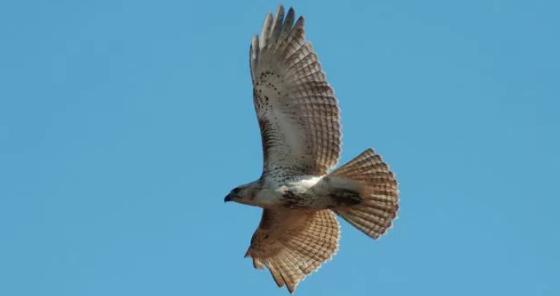 Hawk Update